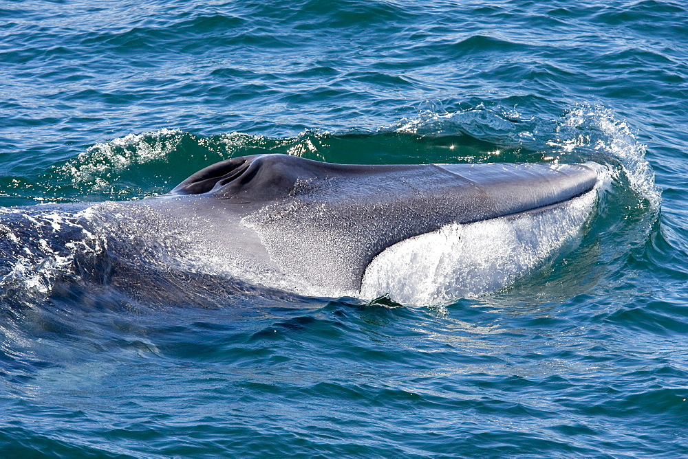 Adult fin whale (Balaenoptera physalus) surfacing near Isla Carmen in the lower Gulf of California (Sea of Cortez), Mexico. This baleen whale is uniquely asymmetrical in its coloration; the right lower jaw is usually white in color whereas the left lower jaw is black. Also note the grey chevron pattern on the back of this animal, another defining color pattern. The fin whale believed to be the second largest animal to have ever lived on planet Earth.