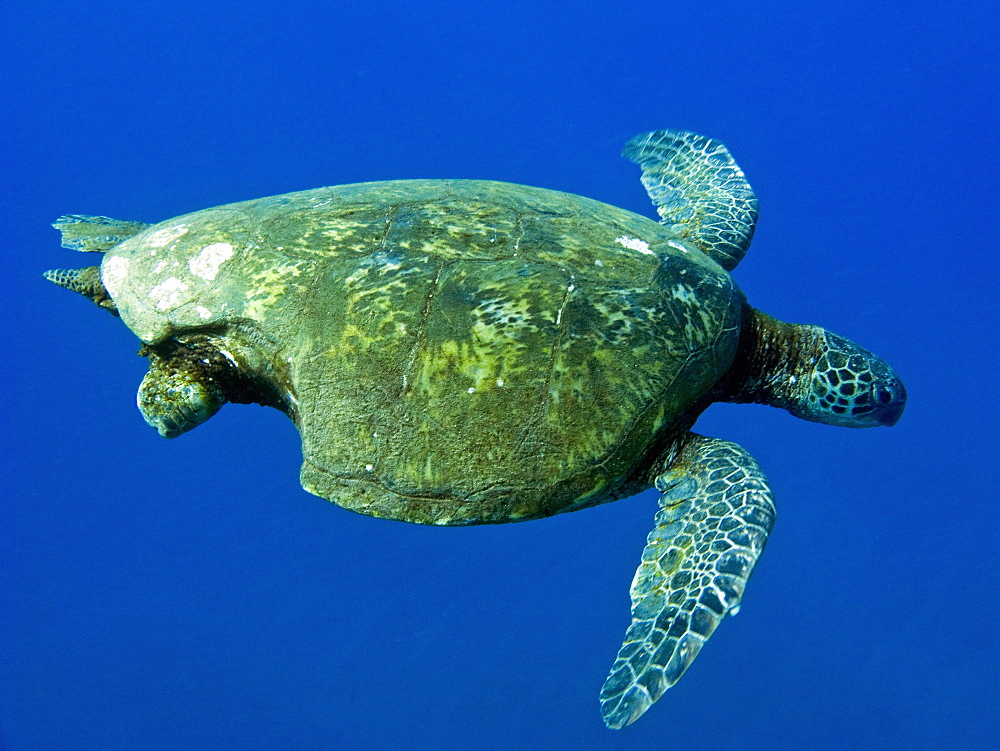 Adult green sea turtle (Chelonia mydas) in the protected marine sanctuary at Honolua Bay on the northwest side of the island of Maui, Hawaii, USA. The range of this species extends throughout tropical and subtropical seas around the world, with two distinct populations in the Atlantic and Pacific Oceans. They are green because of their fat underneath their shell (carapace). As a species recognized as endangered by the IUCN and CITES, Chelonia mydas is protected from exploitation in most countries worldwide. It is illegal to collect, harm or kill individual turtles in the Hawaiian Islands. A fairly recent phenomenon recorded in Hawaii's population of green sea turtles as well as in populations off the coast of Florida is the presence of a disease called fibropapilloma. Fibropapilloma causes the growth of large bulbous tumors predominantly on the soft tissues of the turtles. Once turtles are stricken with the disease they do not appear to recover. The tumors often spread to many parts of the body, ultimately killing the turtles.     (rr)