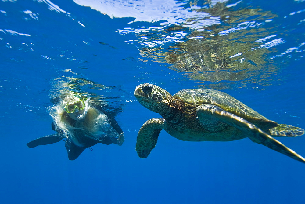 A snorkeler and a green sea turtle (Chelonia mydas) in the protected marine sanctuary at Honolua Bay on the northwest side of the island of Maui, Hawaii, USA. The range of this species extends throughout tropical and subtropical seas around the world, with two distinct populations in the Atlantic and Pacific Oceans. They are green because of their fat underneath their shell (carapace). As a species recognized as endangered by the IUCN and CITES, Chelonia mydas is protected from exploitation in most countries worldwide. It is illegal to collect, harm or kill individual turtles in the Hawaiian Islands. A fairly recent phenomenon recorded in Hawaii's population of green sea turtles as well as in populations off the coast of Florida is the presence of a disease called fibropapilloma. Fibropapilloma causes the growth of large bulbous tumors predominantly on the soft tissues of the turtles. Once turtles are stricken with the disease they do not appear to recover. The tumors often spread to many parts of the body, ultimately killing the turtles.