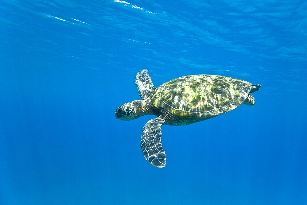 Adult green sea turtle (Chelonia mydas) in the protected marine sanctuary at Honolua Bay on the northwest side of the island of Maui, Hawaii, USA. The range of this species extends throughout tropical and subtropical seas around the world, with two distinct populations in the Atlantic and Pacific Oceans. They are green because of their fat underneath their shell (carapace). As a species recognized as endangered by the IUCN and CITES, Chelonia mydas is protected from exploitation in most countries worldwide. It is illegal to collect, harm or kill individual turtles in the Hawaiian Islands. A fairly recent phenomenon recorded in Hawaii's population of green sea turtles as well as in populations off the coast of Florida is the presence of a disease called fibropapilloma. Fibropapilloma causes the growth of large bulbous tumors predominantly on the soft tissues of the turtles. Once turtles are stricken with the disease they do not appear to recover. The tumors often spread to many parts of the body, ultimately killing the turtles.