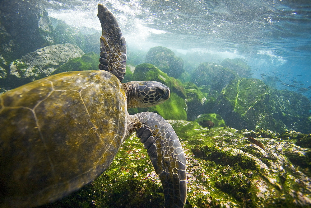 Adult green sea turtle (Chelonia mydas agassizii) underwater off the west side of Isabela Island in the waters surrounding the Galapagos Island Archipeligo, Ecuador. Pacific Ocean.