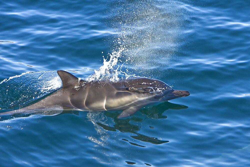Long-beaked Common Dolphin pod (Delphinus capensis) encountered off Isla Espiritu Santo in the southern Gulf of California (Sea of Cortez), Baja California Sur, Mexico