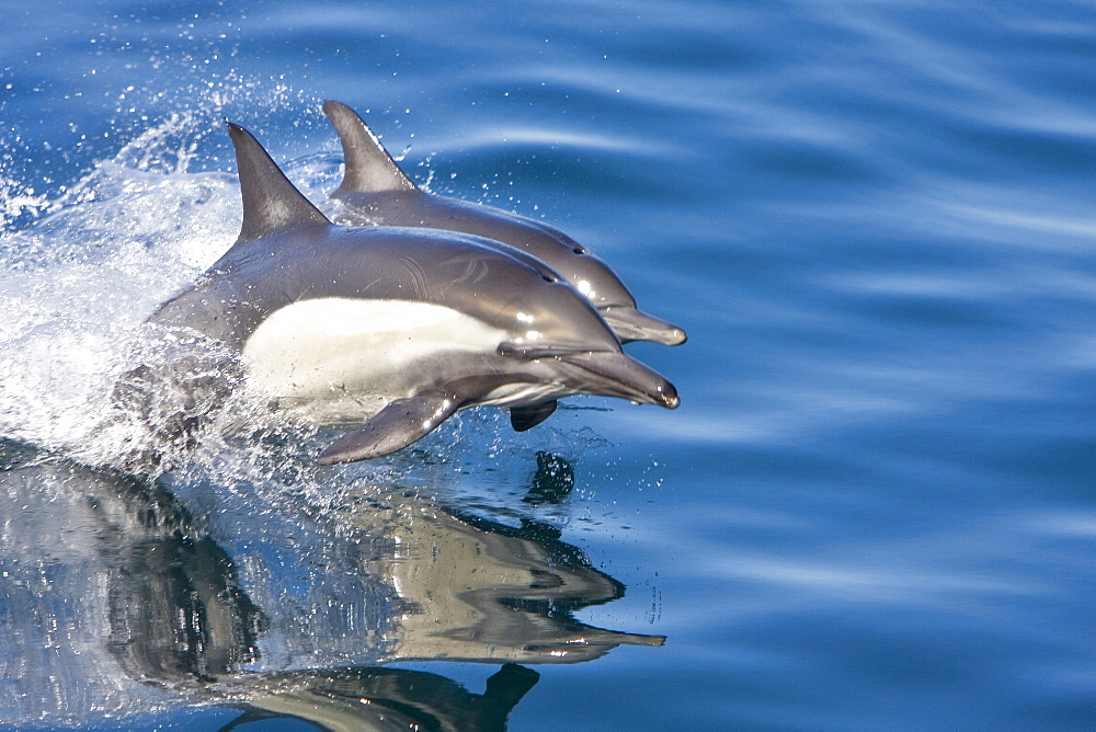 Long-beaked Common Dolphin pair (Delphinus capensis) encountered off Isla Espiritu Santo in the southern Gulf of California (Sea of Cortez), Baja California Sur, Mexico.