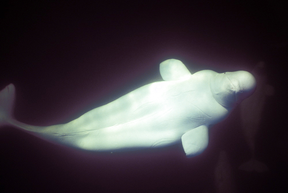Curious Beluga (Delphinapterus leucas) approach underwater in the Churchill River, Hudson Bay, Manitoba, Canada. - 979-328