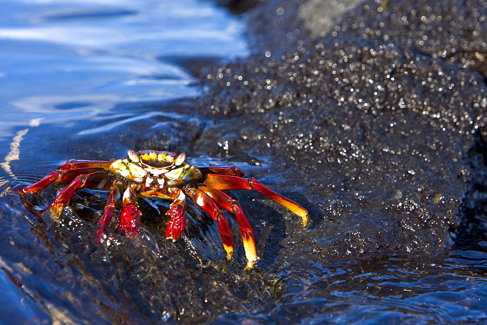 Sally lightfoot crab (Grapsus grapsus) in the litoral of the Galapagos Island Archipeligo, Ecuador. Pacific Ocean. This bright red crab is one of the most abundant invertabrates to be seen in the intertidal area of the Galapagos.