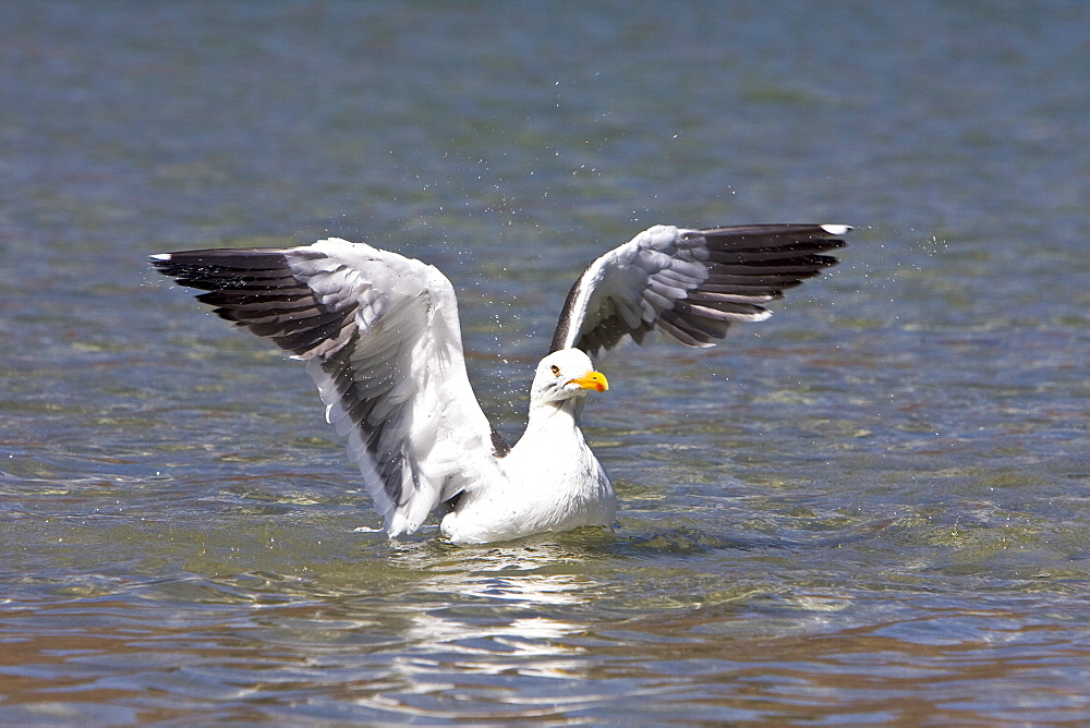Yellow-footed Gull (Larus livens) in the Gulf of California (Sea of Cortez), Mexico. This species is enedemic to only the Gulf of California.