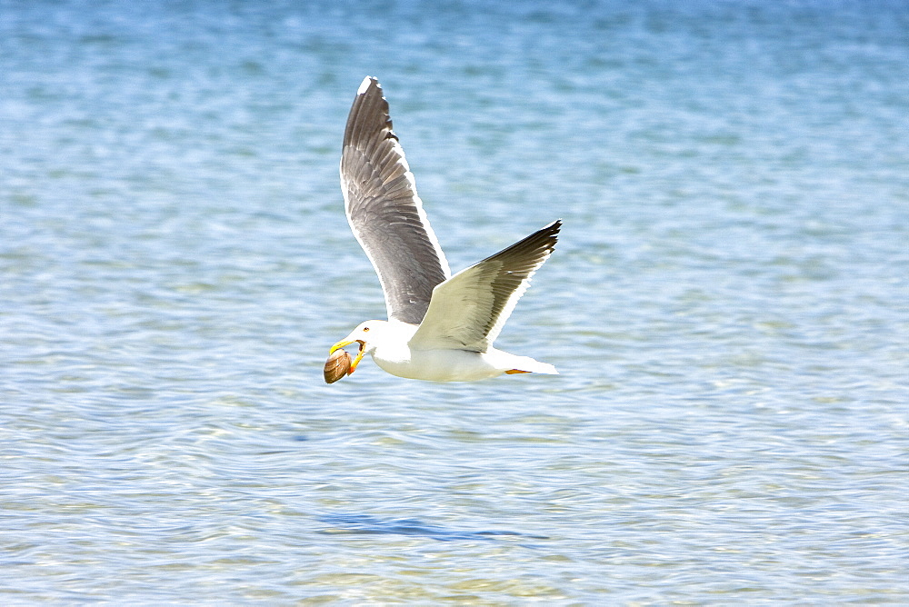 Adult yellow-footed Gull (Larus livens) in the Gulf of California (Sea of Cortez), Mexico. This species is enedemic to only the Gulf of California. Here the gull has a clam found on exposed tidal flats of an extremely low tide. The gull will drop the clam