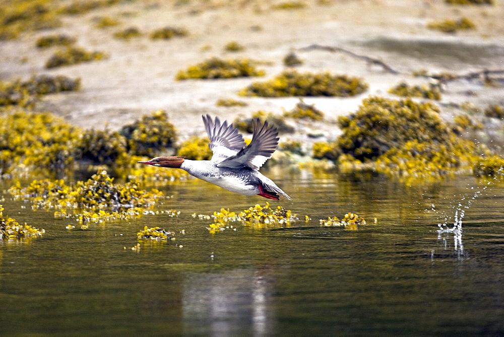 Adult female common merganser (Mergus merganser) in breeding plumage in Gambier Bay on Admiralty Island, Southeastern Alaska, USA. Pacific Ocean.