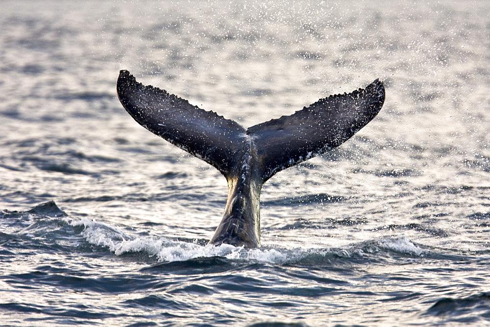 Humpback whale (Megaptera novaeangliae) calf tail-lobbing off Gorda Banks near San Jose del Cabo in the lower Gulf of California (Sea of Cortez), Baja California Sur, Mexico.