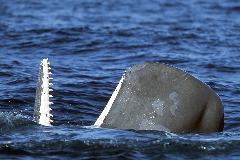 Sub-adult Sperm Whale, Physeter macrocephalus, spy-hopping in northern Gulf of California, Mexico
