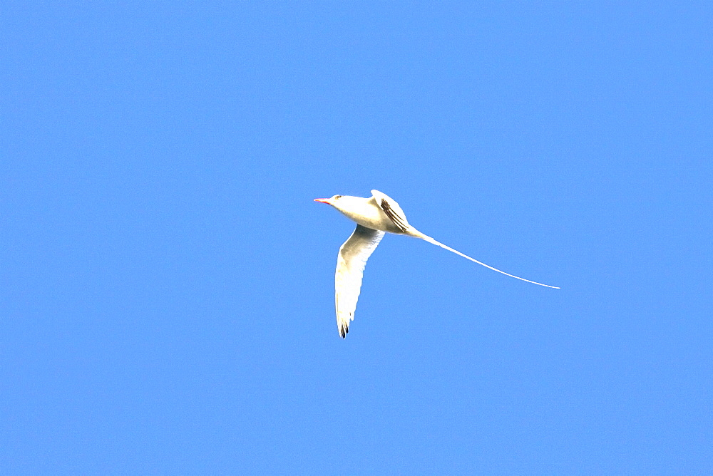 Red-billed Tropicbird (Phaethon aethereus) in flight over Isla San Pedro Martir in the Gulf of California (Sea of Cortez), Mexico.    (rr)