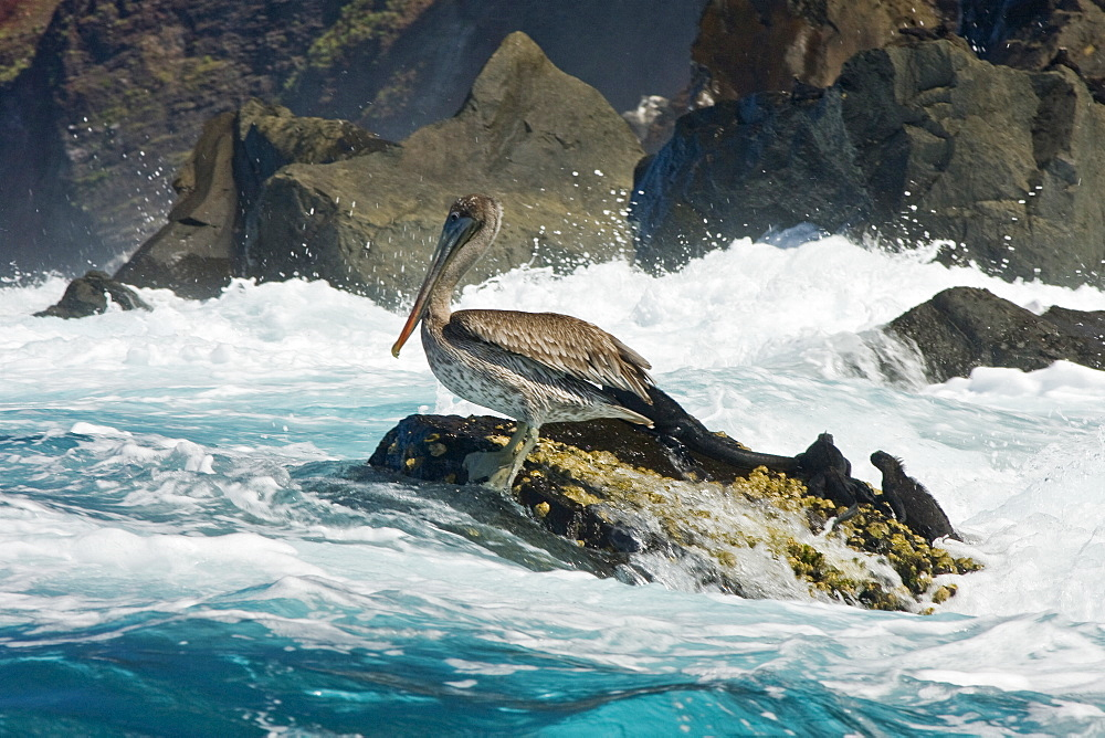 Juvenile brown pelican (Pelecanus occidentalis) resting with marine iguanas on Isabella Island in the Galapagos Island Group, Ecuador. Pacific Ocean.