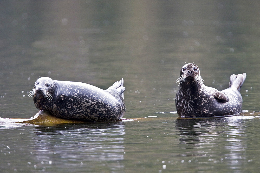 Adult harbor seals (Phoca vitulina) hauled out and resting on a semi-submerged log in punchbowl inside Misty Fiords National Monument just outside of Ketchikan, Southeast Alaska, USA. Pacific Ocean. The weight of the seals would literally submerge the log, which would lift back out of the water once they swam off.