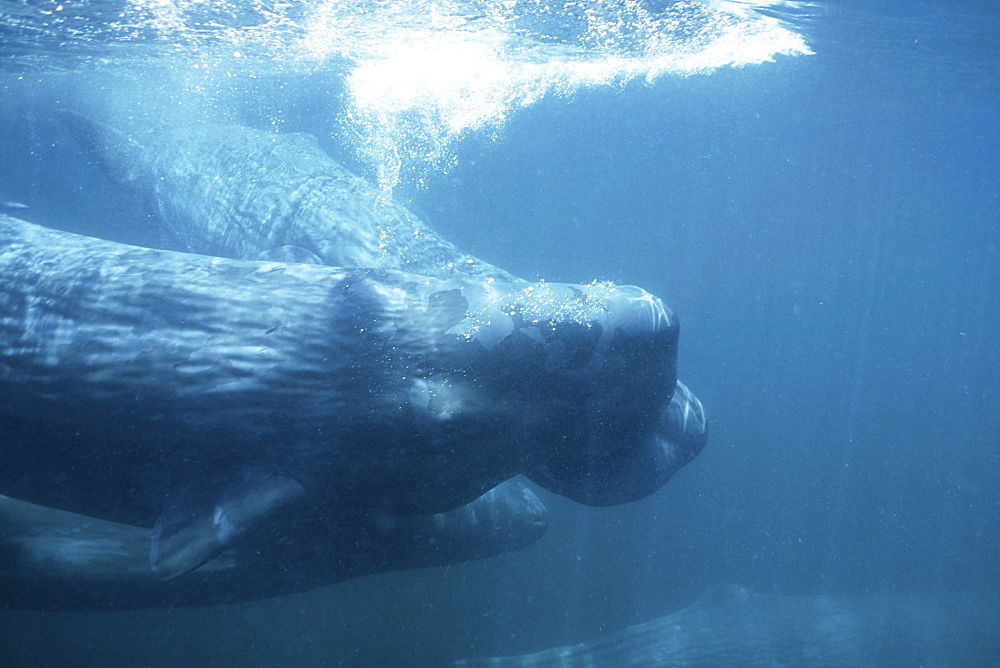 Sperm Whale, Physeter macrocephalus, young, social rubbing in the northern Gulf of California, Mexico