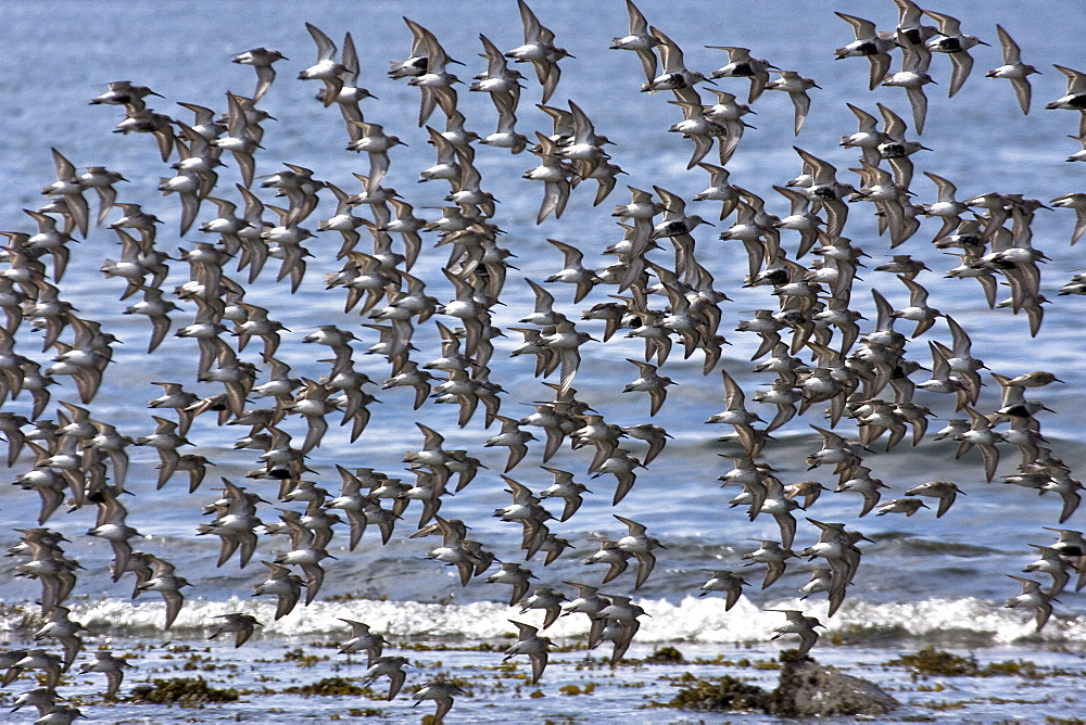 Various shorebirds flocking at low tide to feed just outside Sitka, southeast Alaska, USA. Pacific Ocean.
