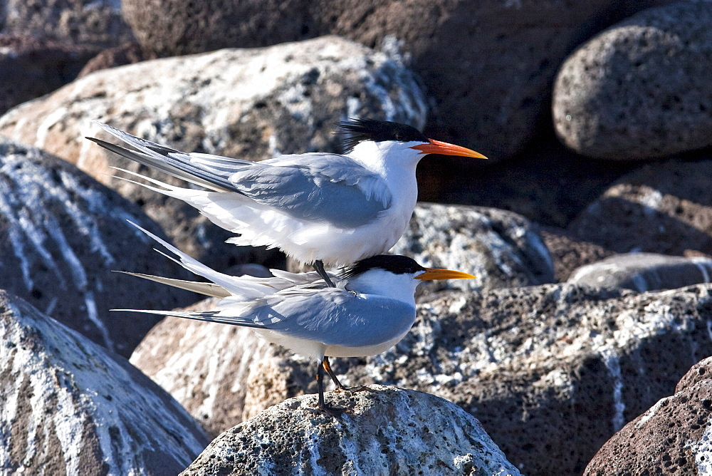 Elegant terns (Sterna elegans) nesting on tiny and remote Isla Rasa in the middle Gulf of California (Sea of Cortez), Mexico. About 95% of the world's population of elegant terns nest on this tiny island, 2007 population estimates show about 200,000 nesting pairs here.