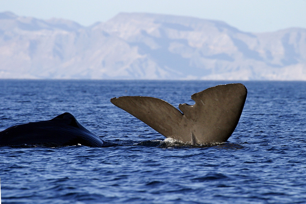 Adult Sperm Whale (Physeter macrocephalus) surfacing (note tears in flukes) in the upper Gulf of California (Sea of Cortez), Mexico.