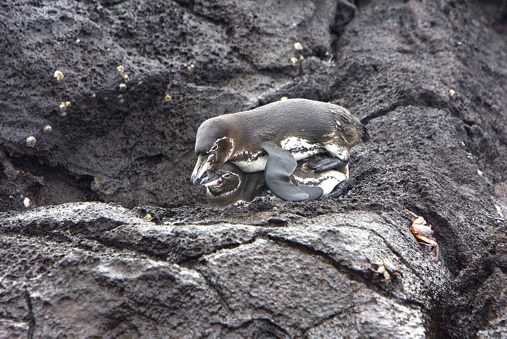 Adult Galapagos penguin (Spheniscus mendiculus) pair mating in the Galapagos Island Group, Ecuador. This is the only species of penguin in the northern hemisphere and is endemic to the Galapagos Island archipeligo, Ecuador only.