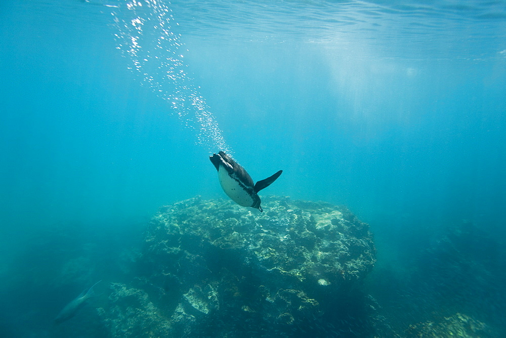 Adult Galapagos penguin (Spheniscus mendiculus) foraging underwater on small baitfish in the Galapagos Island Group, Ecuador. This is the only species of penguin in the northern hemisphere and is endemic to the Galapagos Island archipeligo, Ecuador only.