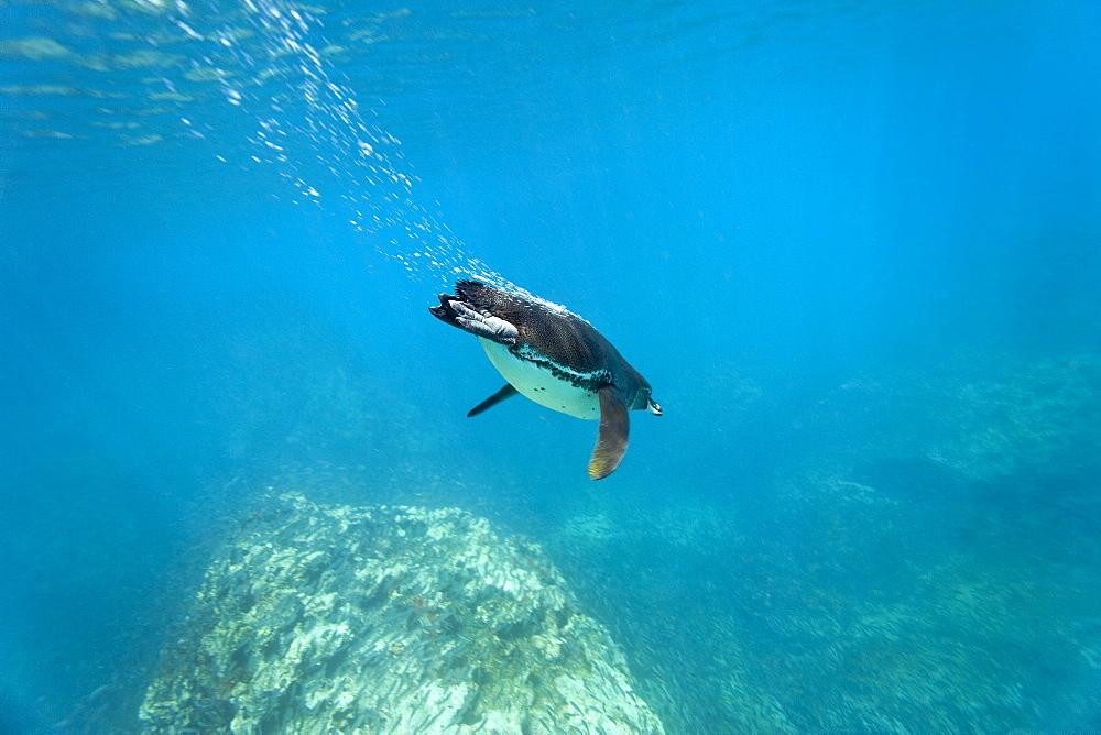Adult Galapagos penguin (Spheniscus mendiculus) foraging underwater on small baitfish in the Galapagos Island Group, Ecuador