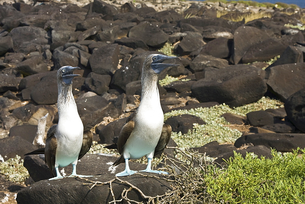 Blue-footed booby (Sula nebouxii) pair nesting in the Galapagos Island Group, Ecuador. The Galapagos are a nesting and breeding area for blue-footed boobies.