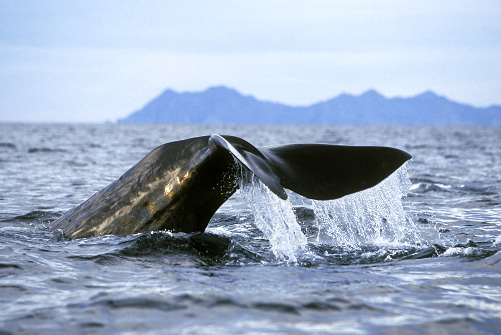 Adult Sperm Whale (Physeter macrocephalus) fluke-up dive in the northern Gulf of California (Sea of Cortez), Mexico.