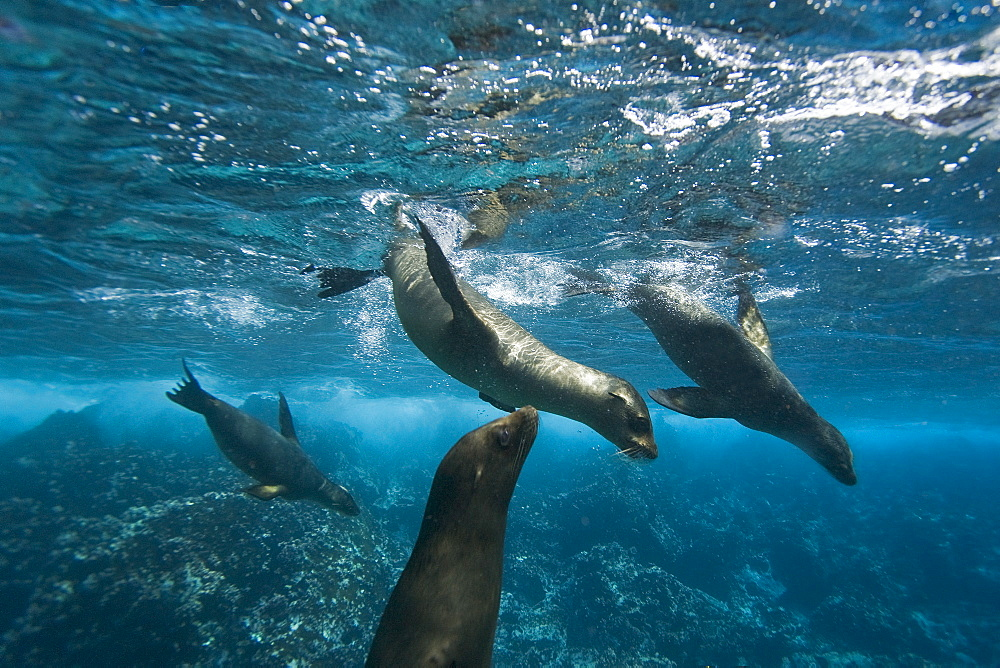 Galapagos sea lions (Zalophus wollebaeki) underwater at Champion Islet near Floreana Island in the Galapagos Island Archipeligo, Ecuador. Pacific Ocean. The majority of the Gal?pagos Sea Lion population is protected, as the islands are a part of the Ecuadorian National Park surrounded by a marine resources reserve. Fluctuating between 20,000 and 50,000 sea lions, the population does have a few threatening factors. During El Nino events, the population tends to decrease due to die-offs, cessation of reproduction, and collapses in marine life the seals are dependent on. Sharks are the main predator to the sea lion, and killer whales are presumed to be another predator as well. This species is endemic to Ecuador.