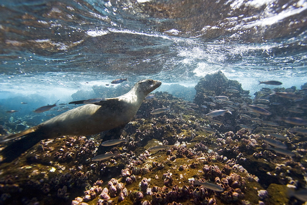 Galapagos sea lion (Zalophus wollebaeki) underwater at Champion Islet near Floreana Island in the Galapagos Island Archipeligo, Ecuador. Pacific Ocean. The majority of the Gal?pagos Sea Lion population is protected, as the islands are a part of the Ecuadorian National Park surrounded by a marine resources reserve. Fluctuating between 20,000 and 50,000 sea lions, the population does have a few threatening factors. During El Nino events, the population tends to decrease due to die-offs, cessation of reproduction, and collapses in marine life the seals are dependent on. Sharks are the main predator to the sea lion, and killer whales are presumed to be another predator as well. This species is endemic to Ecuador.