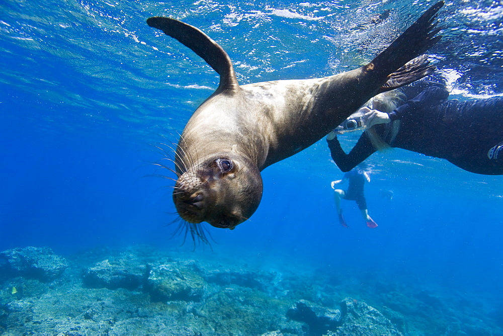 Galapagos sea lion (Zalophus wollebaeki) underwater with snorkelers at Champion Islet near Floreana Island in the Galapagos Island Archipeligo, Ecuador. Pacific Ocean