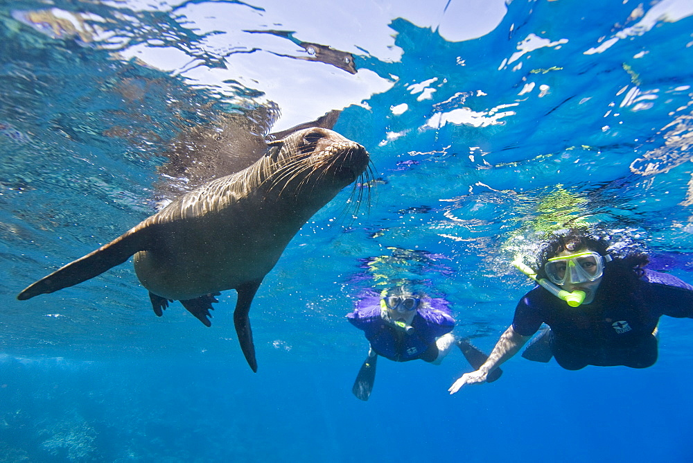 Galapagos sea lion (Zalophus wollebaeki) underwater with snorkelers at Champion Islet near Floreana Island in the Galapagos Island Archipeligo, Ecuador. Pacific Ocean. The majority of the Gal?pagos Sea Lion population is protected, as the islands are a part of the Ecuadorian National Park surrounded by a marine resources reserve. Fluctuating between 20,000 and 50,000 sea lions, the population does have a few threatening factors. During El Nino events, the population tends to decrease due to die-offs, cessation of reproduction, and collapses in marine life the seals are dependent on. Sharks are the main predator to the sea lion, and killer whales are presumed to be another predator as well. This species is endemic to Ecuador.