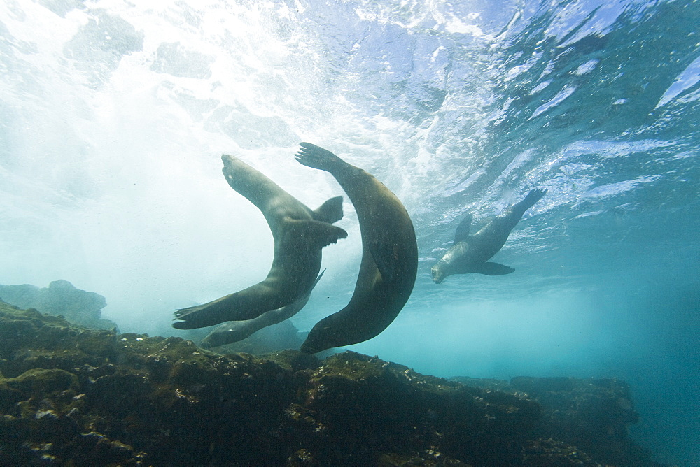 Curious Galapagos sea lions (Zalophus wollebaeki) underwater at the Guy Fawkes Islets near Santa Cruz Island in the Galapagos Island Archipeligo, Ecuador. Pacific Ocean. The majority of the Galapagos Sea Lion population is protected, as the islands are a part of the Ecuadorian National Park surrounded by a marine resources reserve. Fluctuating between 20,000 and 50,000 sea lions, the population does have a few threatening factors. During El Nino events, the population tends to decrease due to die-offs, cessation of reproduction, and collapses in marine life the seals are dependent on. Sharks are the main predator to the sea lion, and killer whales are presumed to be another predator as well. This species is endemic to Ecuador.     (rr)
