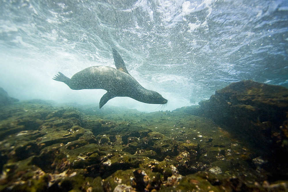 Galapagos sea lion (Zalophus wollebaeki) underwater at the Guy Fawkes Islets near Santa Cruz Island in the Galapagos Island Archipeligo, Ecuador. Pacific Ocean. The majority of the Gal?pagos Sea Lion population is protected, as the islands are a part of the Ecuadorian National Park surrounded by a marine resources reserve. Fluctuating between 20,000 and 50,000 sea lions, the population does have a few threatening factors. During El Nino events, the population tends to decrease due to die-offs, cessation of reproduction, and collapses in marine life the seals are dependent on. Sharks are the main predator to the sea lion, and killer whales are presumed to be another predator as well. This species is endemic to Ecuador.
