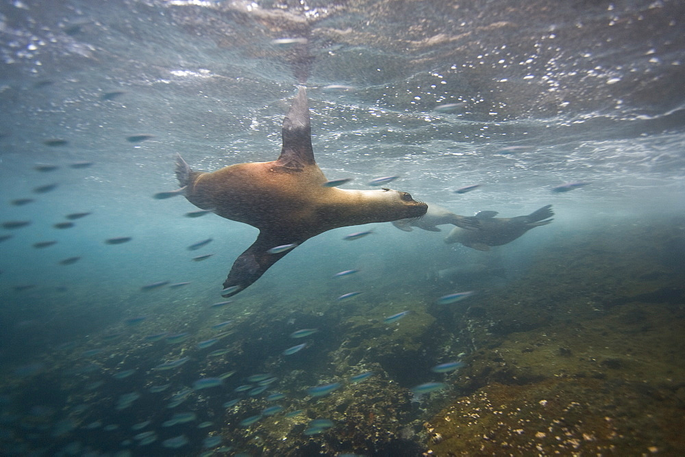 Curious Galapagos sea lions (Zalophus wollebaeki) underwater at the Guy Fawkes Islets near Santa Cruz Island in the Galapagos Island Archipeligo, Ecuador. Pacific Ocean. The majority of the Gal?pagos Sea Lion population is protected, as the islands are a part of the Ecuadorian National Park surrounded by a marine resources reserve. Fluctuating between 20,000 and 50,000 sea lions, the population does have a few threatening factors. During El Nino events, the population tends to decrease due to die-offs, cessation of reproduction, and collapses in marine life the seals are dependent on. Sharks are the main predator to the sea lion, and killer whales are presumed to be another predator as well. This species is endemic to Ecuador.