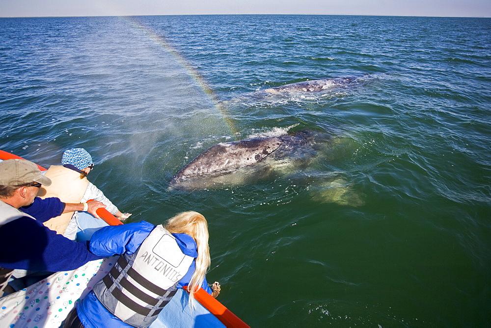 """A """"rainblow"""" forms from the spout of a California Gray Whale (Eschrichtius robustus) calf in San Ignacio Lagoon, Baja Peninsula, Baja California Sur, Mexico"""