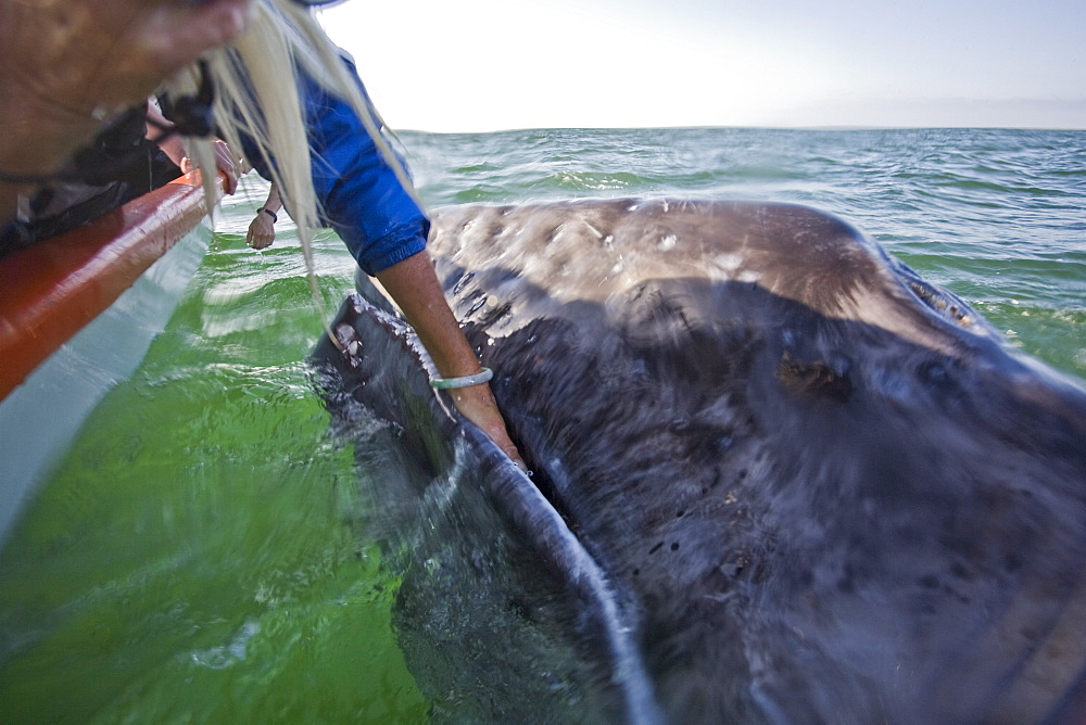 Rubbing the baleen plates of a curious California Gray Whale (Eschrichtius robustus) calf in San Ignacio Lagoon, Baja Peninsula, Baja California Sur, Mexico