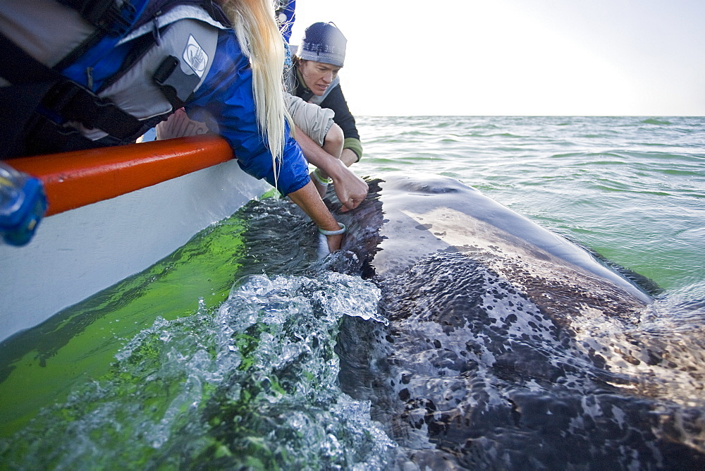 Rubbing the baleen plates of a curious California Gray Whale (Eschrichtius robustus) calf in San Ignacio Lagoon on the Pacific side of the Baja Peninsula, Baja California Sur, Mexico