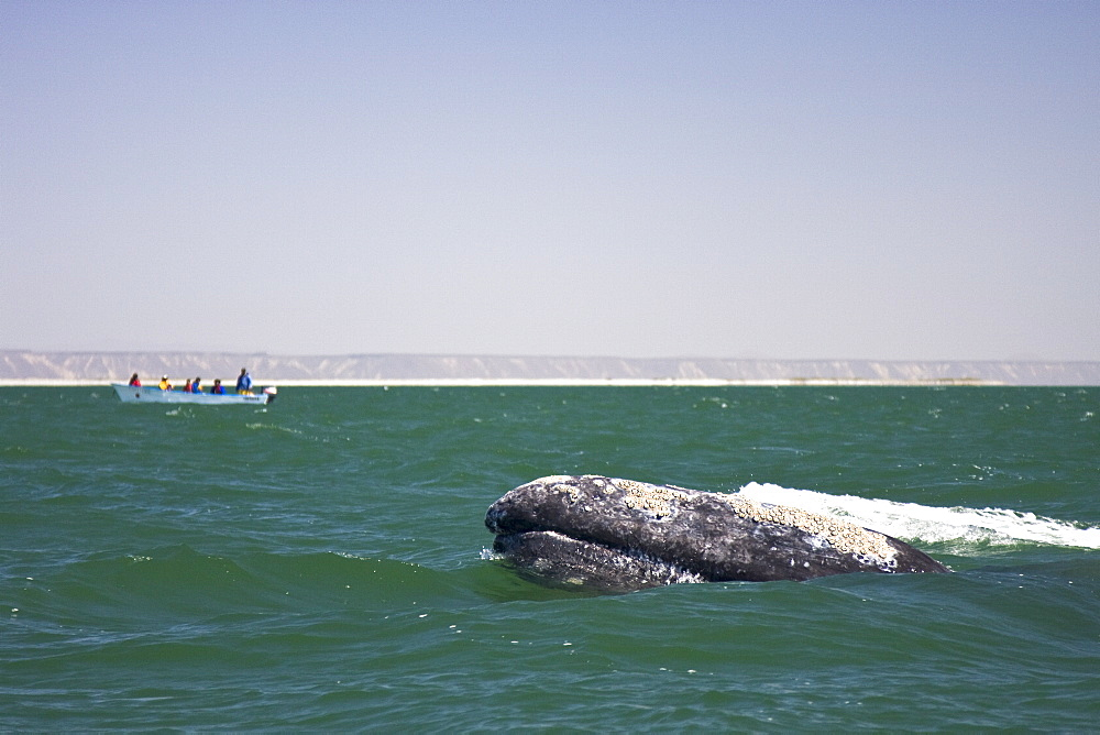 An adult California Gray Whale (Eschrichtius robustus) spy-hopping in San Ignacio Lagoon, Baja California Sur, Mexico