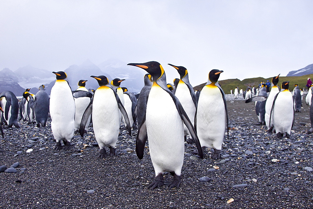 King Penguin (Aptenodytes patagonicus) breeding and nesting colonies on South Georgia Island, Southern Ocean. King penguins are rarely found below 60 degrees south, and almost never on the Antarctic Peninsula. The King Penguin is the second largest species of penguin at about 90 cm (3 ft) tall and weighing 11 to 16 kg (24 to 35 lb), second only to the Emperor Penguin. King penguins eat small fish, mainly lanternfish, and squid and rely less than most Southern Ocean predators on krill and other crustaceans. On foraging trips they repeatedly dive to over 100 meters (350 feet), often over 200 meters (700 feet). This is far deeper than other penguins, other than their closest relative, the larger Emperor penguin. King Penguins breed on the subantarctic islands at the northern reaches of Antarctica, as well as Tierra del Fuego, South Georgia, and other temperate islands of the region. The total population is estimated to be 2.23 million pairs and is increasing. The King Penguin was described in 1778 by English naturalist and illustrator John Frederick Miller, its generic name derived from the Ancient Greek a 'without' pteno- 'able to fly' or 'winged' and dytes/ 'diver'.Its specific epithet patagonicus derived from Patagonia.