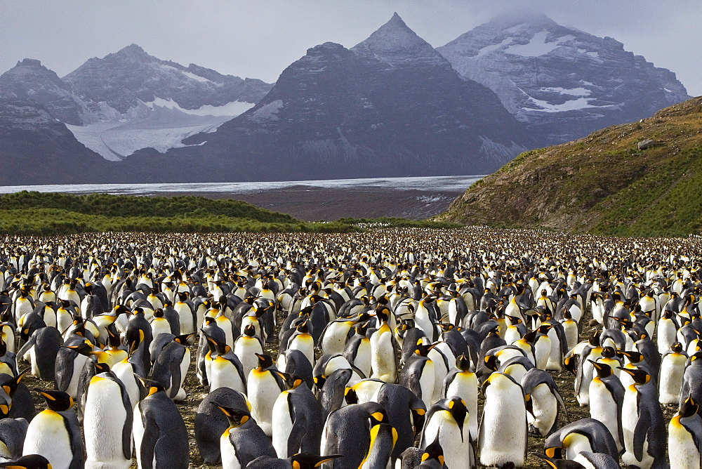 King Penguin (Aptenodytes patagonicus) breeding and nesting colonies on South Georgia Island, Southern Ocean.