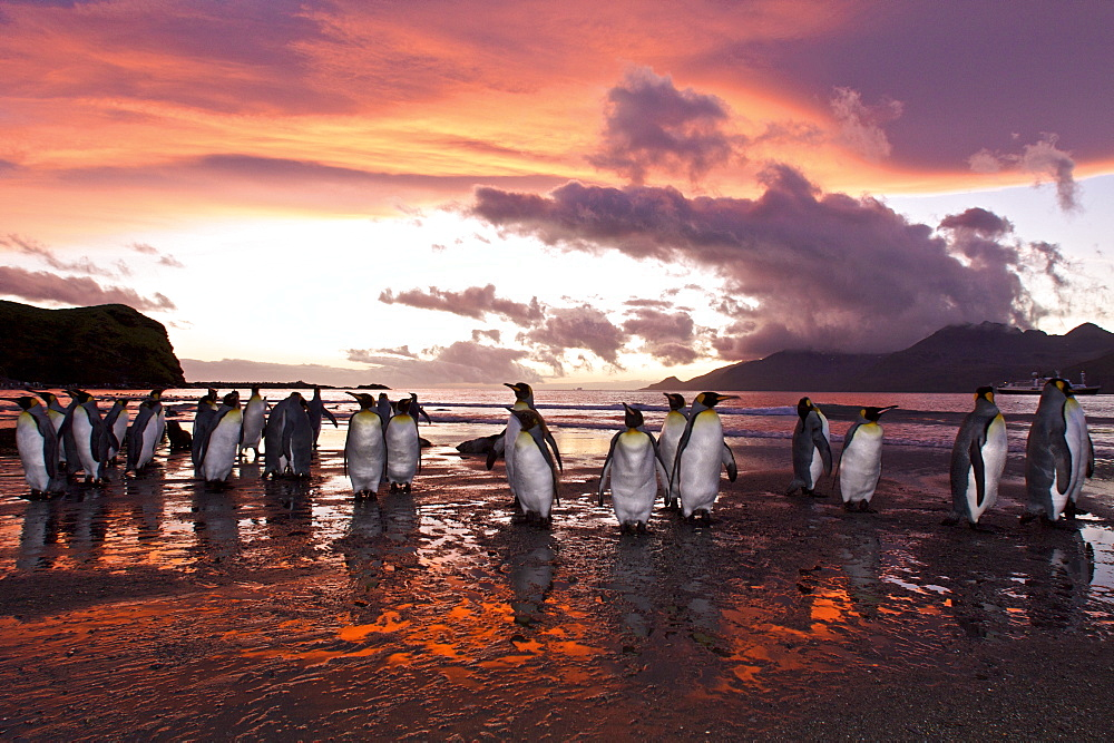 Sunrise on the king penguin (Aptenodytes patagonicus) breeding and nesting colonies at St. Andrews Bay on South Georgia Island, Southern Ocean.