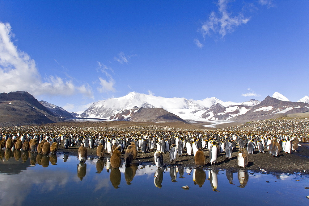 Reflected sunlight on king penguin (Aptenodytes patagonicus) breeding and nesting colonies on South Georgia Island, Southern Ocean.