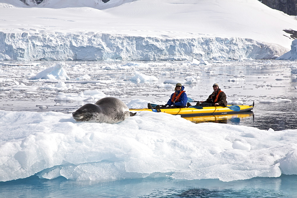 kayaking with a leopard seal near Danco Island, Antarctica. The Leopard seal (Hydrurga leptonyx) is the second largest species of seal in the Antarctic (after the Southern Elephant Seal), and is near the top of the Antarctic food chain. It can live twenty-six years, possibly more. Orcas are the only natural predators of leopard seals. Females are generally larger than the males. The bulls are generally 2.5 m (8.2 ft) to 3.2 m (10.5 ft) and weigh between 200 kg (441 lb) and 453.5 kg (1,000 lb), while cows are between 2.4 meters (7.9 feet) and 3.4 meters (11.2 feet) in length and weigh between 225 kg (496 lb) and 591 kg (1,303 lb). In 2003, a leopard seal dragged a snorkeling biologist underwater to her death in what was identified as the first known human fatality from a leopard seal. However, numerous examples of aggressive behavior, stalking, and attacks on humans had been previously documented. The leopard seal has also been known to snap at people's feet through holes in the ice.