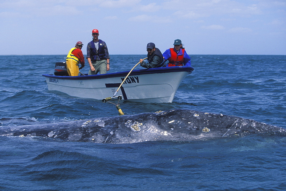 Researchers placing satellite tag on adult California Gray Whale (Eschrichtius robustus). San Ignacio Lagoon, Baja California Sur, Mexico. No model release.