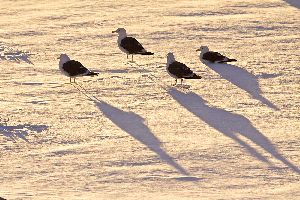 Adult kelp gulls (Larus dominicanus) on an ice floe at sunset near the Antarctic peninsula in the southern ocean. This is the only gull regularly found in the Antarctic peninsula to a latitude of 68 degrees south. The species specific part of the binomial name comes from the Dominican order of friars who wore black and white habits. Its size is 56cm with an 128cm wingspan. This is a mainly coastal gull. The nest is a shallow depression on the ground lined with vegetation and feathers. The female usually lays 2 or 3 eggs. Both parents feed the young birds.