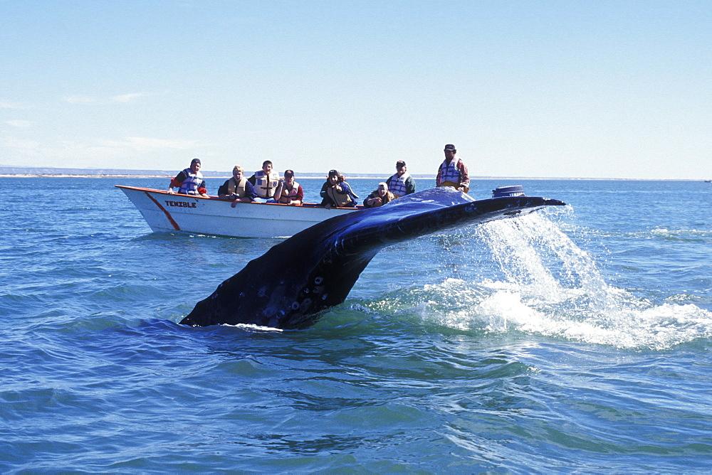 Adult California Gray Whale (Eschrichtius robustus) fluke-up dive near whale watching boat in San Ignacio Lagoon, Baja California Sur, Mexico. - 979-396