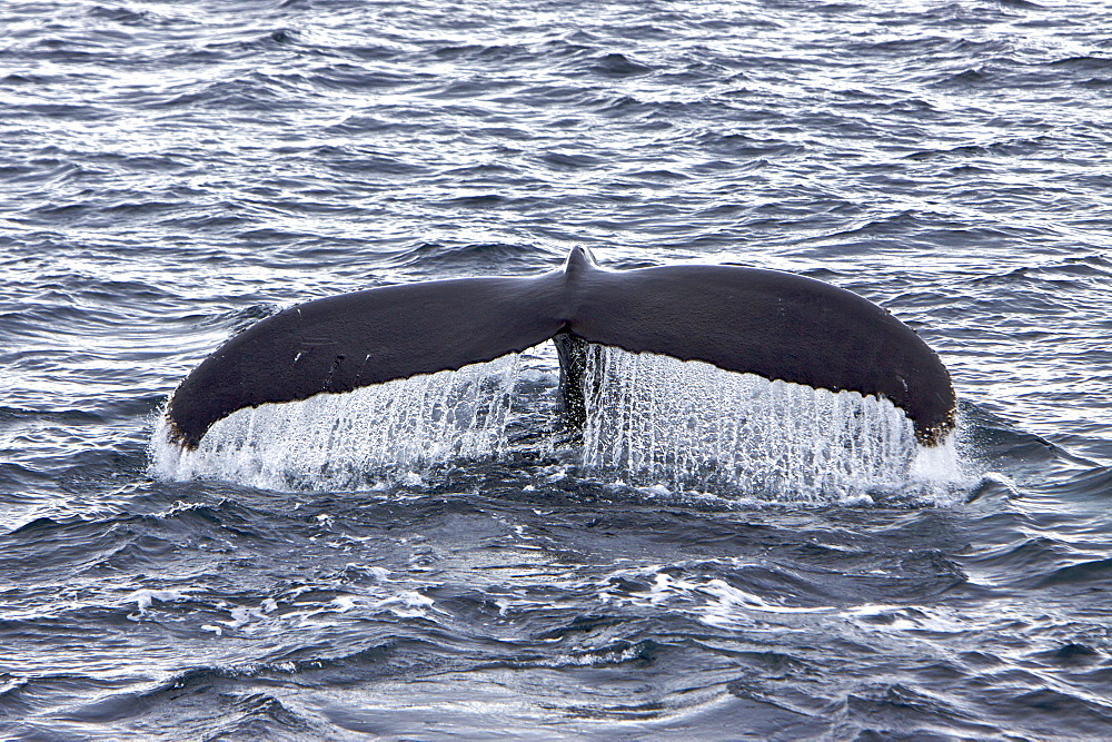 Humpback whale (Megaptera novaeangliae) fluke-up dive near the Antarctic Peninsula. One of the larger rorqual species, adults range in length from 12?16 metres (40?50 ft) and weigh approximately 36,000 kilograms (79,000 lb). The humpback has a distinctive body shape, with unusually long pectoral fins and a knobbly head. It is an acrobatic animal, often breaching and slapping the water. Males produce a complex whale song, which lasts for 10 to 20 minutes and is repeated for hours at a time. The purpose of the song is not yet clear, although it appears to have a role in mating. Found in oceans and seas around the world, humpback whales typically migrate up to 25,000 kilometres each year. Humpbacks feed only in summer, in polar waters, and migrate to tropical or sub-tropical waters to breed and give birth in the winter. During the winter, humpbacks fast and live off their fat reserves. The species' diet consists mostly of krill and small fish. Humpbacks have a diverse repertoire of feeding methods. Humpback whale populations here are severely depleated from over fishing during the 20th century modern era whaling efforts. A 2007 study identified seven individual whales wintering off the Pacific coast of Costa Rica as those which had made a trip from the Antarctic of around 8,300 km. Identified by their unique tail patterns, these animals have made the longest documented migration by a mammal.