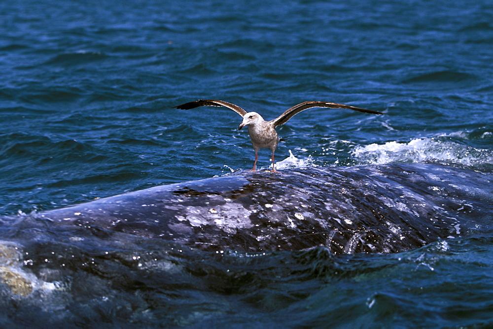 Juvenile gull landing on the back of a California Gray Whale (Eschrichtius robustus) in San Ignacio Lagoon, Baja, Mexico.