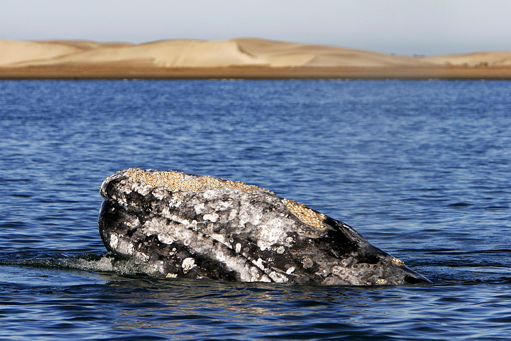 California Gray Whale (Eschrichtius robustus) adult spy-hopping in Magdalena Bay on the Pacific side of the Baja Penninsula. Pacific Ocean.