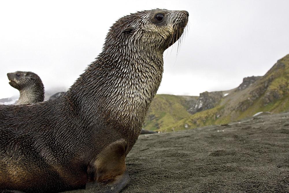 Antarctic Fur Seal (Arctocephalus gazella) pup on the island of South Georgia, southern Atlantic Ocean