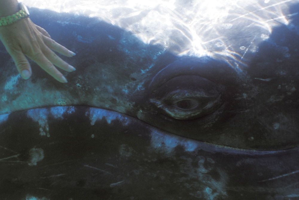 California Gray Whale (Eschrichtius robustus) mother being touched underwater in the calm waters of San Ignacio Lagoon, Baja, Mexico. (Restricted Resoluion - pls contact us)
